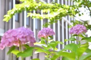 YYY_8765(紫陽花と校舎)